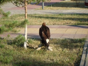 Bird Of Prey In Astana Park